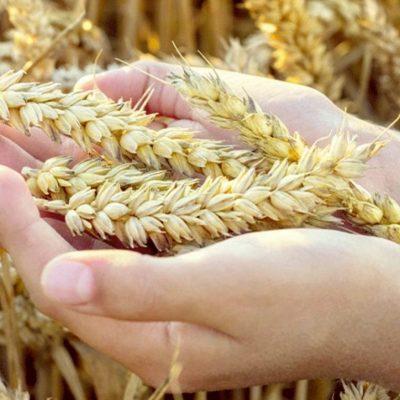 Hausse des cours du blé
